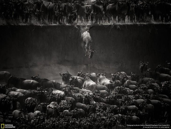 la gran manada en accion